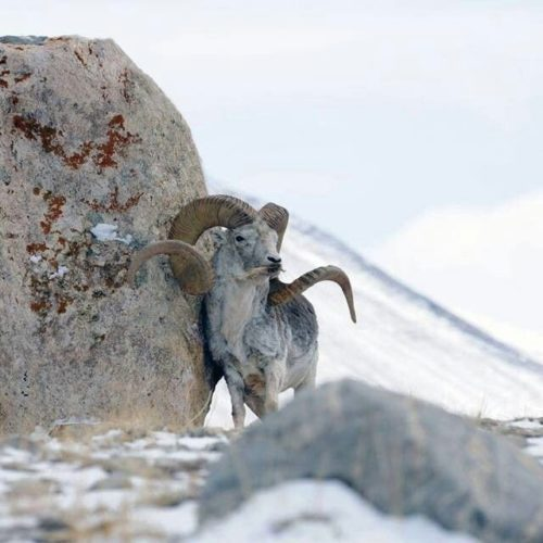 Marco Polo sheep