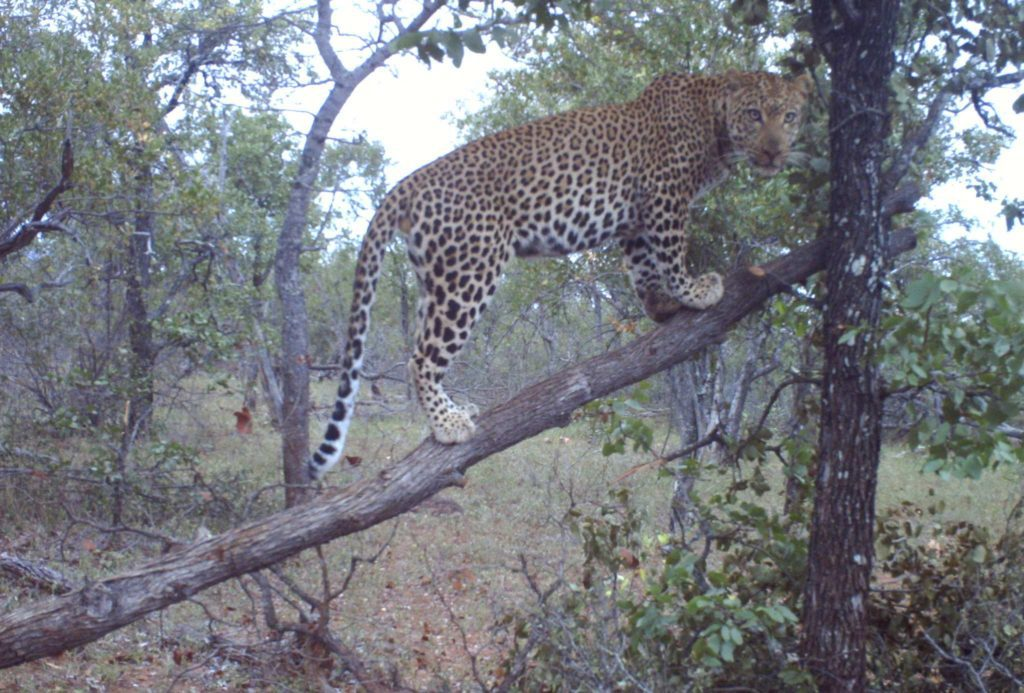 Leopard on bait during the day