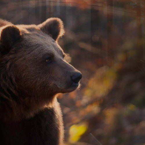Eurasian Brown Bear Hunt in Croatia