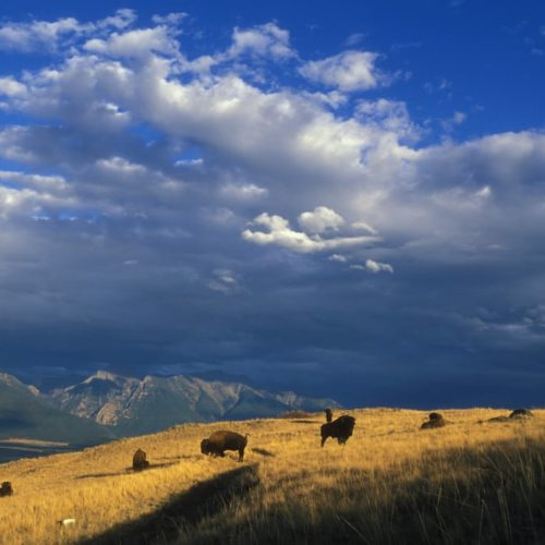 bison, National Bison range MT, by Ryan Hagerty, 10/03, 872, 102.1.03