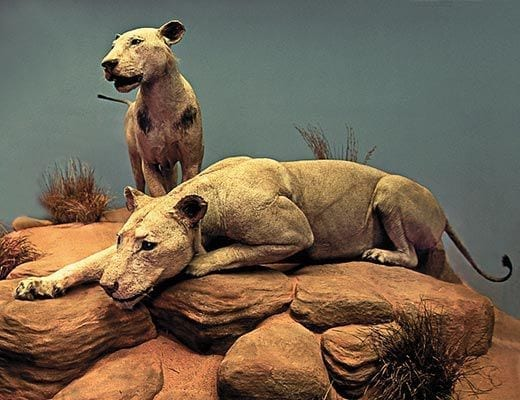 The Man-Eaters of Tsavo at the Smithsonian.
