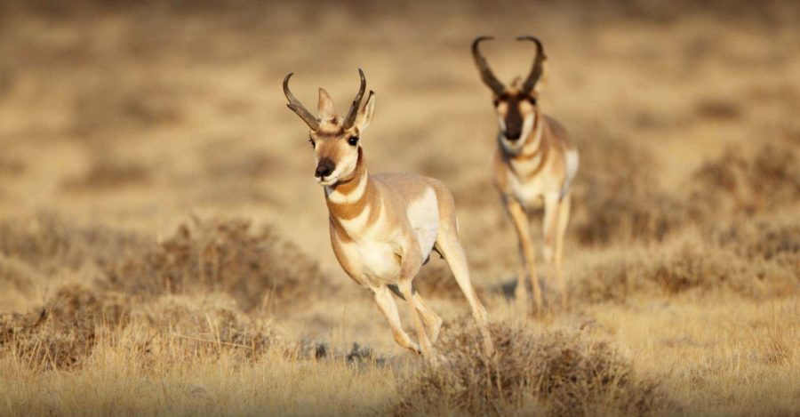Whitetail antelope combination hunt