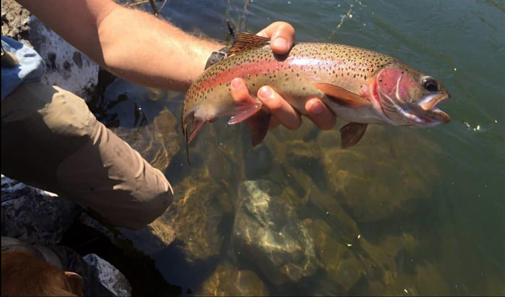 The Lower Deschutes River is known for its genetically pure strain of native Redband rainbow trout.