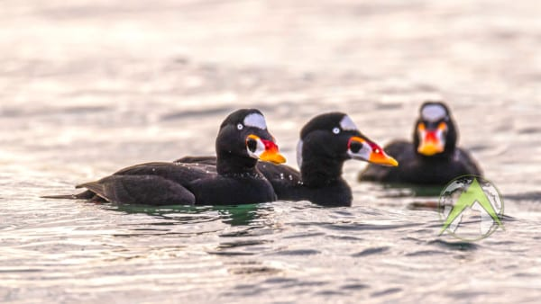 The surf scoter breeds on the coasts of the northern United States. The male is all black, except for white patches on the nape and forehead. It has a bulbous red, yellow and white beak.
