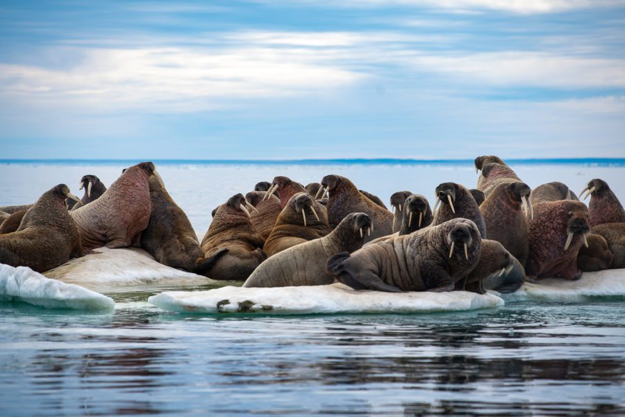 Walrus herd out on the ice