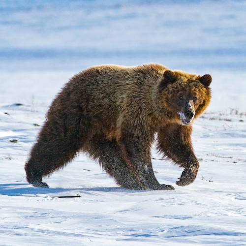 The Barren Ground Grizzly Bear is well known for its ferocity and fears no animal, man included.